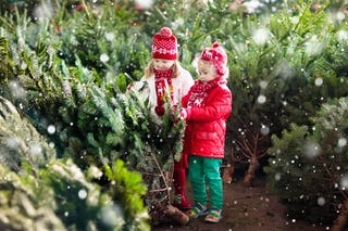 Picking a natural Christmas tree is still a tradition in many parts of Europe.